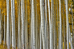 Aspen (W_von_S) Tags: aspen trees bume espen zitterpappeln colorado usa us america amerika rockymountain landscape landschaft panorama paysage paesaggio yellow gelb wvons werner sony outdoor herbst autumn 2016 color colorful beavercreek wald wood abstrakt abstract muster textur