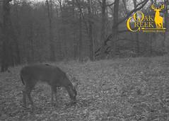 Monster bucks on the Oak Creek trail cams (oakcreekhunt) Tags: whitetail whitetaildeer wwwoakcreekwhitetailranchcom worldrecordwhitetail weishuhn whatgetsyououtdoors mrwhitetail sci sportear scenery scenic deer deerhunting dsc outdoors recordbookdeer