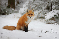 Renard roux - Red fox - Vulpes vulpes (Maxime Legare-Vezina) Tags: animal mammifere mammals fauna biodiversity canon winter hiver snow neige forest quebec canada nature
