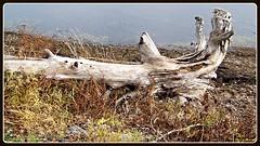 Driftwood on shore (Will S.) Tags: mypics driftwood trenton ontario canada bayofquinte quintewest quinteregion quintearea quinte shoreline