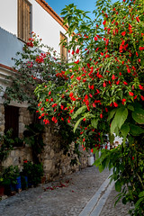 Bright red hibiscus tree on the street of aegean small town in December (yuliakupeli) Tags: aegean architecture attraction blue bougainvillea buildings cityscape europe flowers green hibiscus narrow nobody old outdoor plant shrubs sky small sunny town traditional travels village vine walls washed white