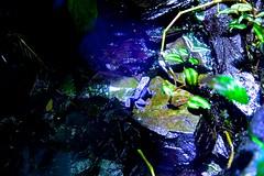 Poison Arrow Frog (HMB!) (Nanny Bean) Tags: mondayblues hmb blue frog azure bluepoisonarrowfrog dendrbatesazureus rainforest endangeredspecies surinam thedeep hull