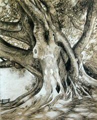 Fig Tree drawing (Robyn Bauer) Tags: trees blackandwhite tree drawing australia brisbane charcoal figtree charcoaldrawing charcoaldrawings treedrawings