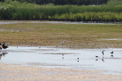 Black Tern (doc shot) (MississippiBirder) Tags: camp vacation capemay terns blte