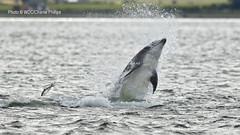 _1DX9944 (Charlie S Phillips) Tags: sea marine dolphin conservation wdc charlie dolphins whale moray firth bottlenose tursiops truncatus