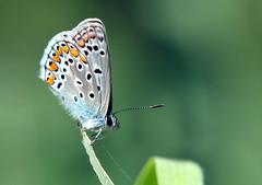polyommatus icarus maschio (Roberto Gramignoli) Tags: polyommatusicarus animali farfalle insetti butterflies insect