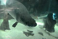 New Orleans 2015 #29 - Audubon Aquarium of the Americas (*Amanda Richards) Tags: fish water aquarium amazon neworleans aquariumoftheamericas audubon arapaima 2015