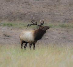 Tule Elk at Arroyo del la Cruz Creek (Atascaderocoachsam) Tags: droh unning dailyrayofhope