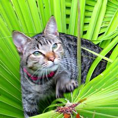 Key West (Florida) Trip, November 2014 3427Ri sq (edgarandron - Busy!) Tags: cats cat keys feline florida tabby kitty kitties tabbies keywest hemingway floridakeys hemingwayhouse hemingwayhome