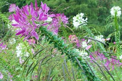 Violet Queen Cleome (Distant Hill Gardens) Tags: annual cosmos spiderplant cleome cutflower cosmosbipinnatus spiderflower mexicanaster whitequeen rosequeen gardencosmos violetqueen cleomehassleriana lavenderqueen violetqueencleome rosequeencleome whitequeencleome