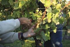 Vendanges 2015 au Vignoble des Hauts de Talmont 9