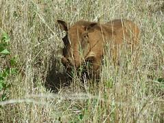 Warthog or common warthog (Phacochoerus africanus) (Linda DV (away)) Tags: lindadevolder africa travel 2015 geotagged geomapped southernafrica southafrica kwazulunatal hluhluwe picmonkey suidae phacochoerusafricanus warthog vlakvark wrattenzwijn artiodactyla