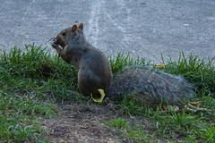 Ardilla (Garimba Rekords) Tags: parque chicago animal illinois ardilla comiendo eeuu