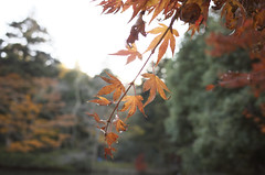 Acer_R000564 (nabe121) Tags: company acer imaging 紅葉 ricoh gr2 grii grlens