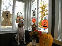 Jack (happy_hounds) Tags: dogdaycare dog daycare puppy pups boarding cagefree dogsofflickr purebred rescuedog happyhounds plymouthmichigan happyhoundsdogdaycare