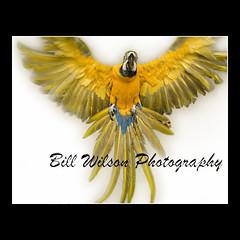Blue and Gold Macaw Flight (wildlifephotonj) Tags: bird birds wildlife flight parrot macaw parrots macaws blueandgoldmacaw naturephotography naturephotos wildlifephotography wildlifephotos natureprints macawprints macawphotos