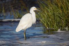 Snowy Egret (Kevin James54) Tags: bird water nc northcarolina marsh egret avian fortfisher snowyegret ftfisher egrettathula kevingiannini