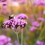 Gold and Bumblebees thumbnail