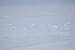 Egrets (Vinchel) Tags: bird nature animal canon outdoor wildlife malaysia waders mersing 200mm 5dsr