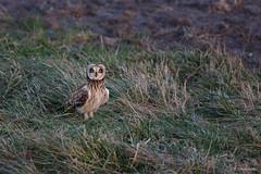 Velduil - Short-eared Owl - Asio flammeus -2537 (Theo Locher) Tags: netherlands birds nederland vogels vogel oiseaux shortearedowl asioflammeus sumpfohreule hiboudesmarais velduil copyrighttheolocher