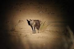 Brown Hyaena (tim ellis) Tags: holiday animal southafrica kalahari hyaena northerncape kgalagadi kgalagaditransfrontierpark transfrontierpark brownhyaena tweerivieren hyaenabrunnea parahyaenabrunnea raremammals