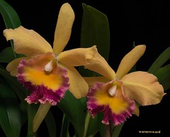 In Pairs (ACEZandEIGHTZ) Tags: orchid flower yellow blackbackground nikon blc enchantedgarden floralfantasy d3200 mixedflowers brassolaeliacattleya perfectpetals saveearth passionforflowers unforgettableflowers mixofflowers