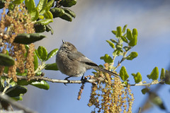 American Bushtit (Psaltriparus minimus) (S Whitebread) Tags: california birds psaltriparusminimus americanbushtit