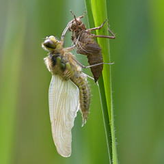 Four-spotted Chaser Dragonfly (image 2 of 2) (Full Moon Images) Tags: woodwalton fen greatfen bcn wildlife trust nnr national nature reserve cambridgeshire insect macro exuvia adult larva dragonfly fourspotted chaser