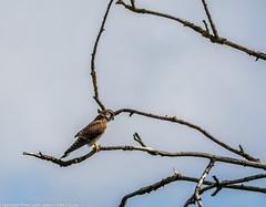 9Q6A7091 (2) (Alinbidford) Tags: alinbidford alancurtis brandonmarsh kingfisher greyheron heron kestrel