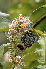Bhutanitis lidderdalii (Hiro Takenouchi) Tags: papilionidae parnassiinae butterflies butterfly india arunachal eaglenest schmetterling nature insect bhutanitis swallowtail