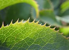 Spiky leaf edge - Explored! (Monceau) Tags: edge macromondays plant leaf points sawtooth helleboruslividuscorsicus helleborus bokeh 289366