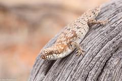 Southern Pygmy Spiny-tailed Skink (Egernia depressa) (BenParkhurst) Tags: 2016 brown hamelinstation westernaustralia outback macro scincidae reserve reptile mulgawoodland wa deadwood fauna egerniadepressa southernpygmyspinytailedskink animal