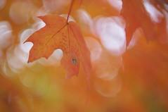 rable  sucre (Patrice StG) Tags: qubec bokeh boisdecoulonge automne autumn fall rable maple feuille leaf leaves feuilles rikenon55mmf14