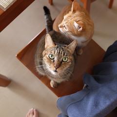 R0090956S (lazybonessss) Tags: ricohgrii ricoh cat nana kitten momo kitten2