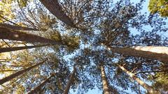 Égig éró fák (A. Meli) Tags: fa fá növény plant fatörzs törzs természet természetben szabadban ég kékég ősz ősszel október októberben baum bäume himmel blauerhimmel baumstamm stamm herbst imherbst imfreien imnatur natur drausen oktober autumn october nature outdoor tree trees sky bluesky bole ngc