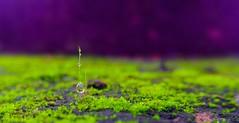 Dew & Moss (Mobile Macrogropher) Tags: lgg4 smartphone photography macro morning dew droplets moss green purple bokeh nature water art close up bali cc