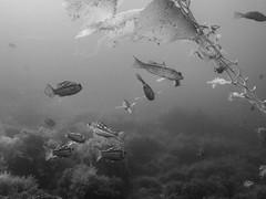 PA070489.jpg (Michael Bartosek) Tags: olympusepl3 catalinaisland olympus1442mm underwater catalina diving california pacificocean