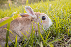 IMG_1626.jpg (ina070) Tags: animals canon6d cute grass outdoor outside pets rabbit rabbits