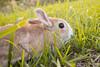 IMG_1626.jpg (ina070) Tags: animals canon6d cute grass outdoor outside pets rabbit rabbits 兔 兔子 寵物 草叢 草地 草皮 å åå å¯μç© èå¢ èå° èç®