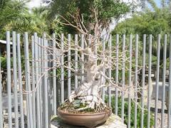 Ficus religiosa --  Fig bonsai tree 4953 (Tangled Bank) Tags: heathcote botanical gardens martin county florida plant flora botany botanic ficus religiosa fig bonsai tree 4953