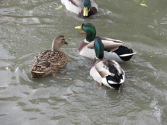 Monday, 7th, Gathering mallards IMG_9342 (tomylees) Tags: monday 7th november 2016 upminster essex