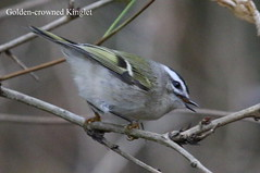 Golden-crowned Kinglet (Terrance Carr) Tags: dncb 201645 stanleypark 2016 november 20161108 terrycarr terry carr