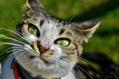 ~~ Le brin d' herbe ~~ (Jolisa) Tags: charlotte chat cat gato regard yeux eyes vert green herbe octobre2016