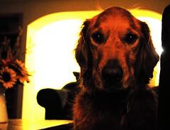 Pippin (3likirkman) Tags: dog eyes animal pet pathetic glodenretriever puppy portrait depthoffield lowlight warm dark room night fur hair innocent pippin