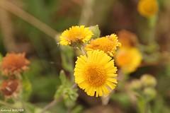 Fleur d't (antoinebouyer) Tags: fleur t nature jaune