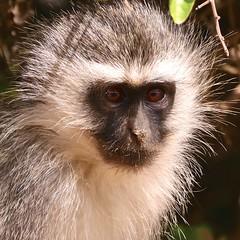 Roadside rascal (Englepip) Tags: animal mammal monkey portrait eyes mischief face addo wild chlorocebuspygerythrus vervet