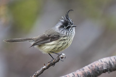 Tufted Tit-tyrant (Tim Melling) Tags: anairetes parulus tufted tittyrant torres del paine chile timmelling