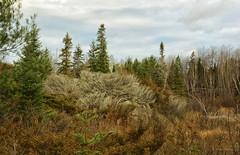 November-2 (Lindaw9) Tags: treeline wetlands rocks cattails water weeds spruce juniper sky clouds november