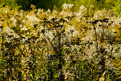 Autum 2016 - 63 (Hejma (+/- 4800 faves and 1,5milion views)) Tags: thebeginningofautumn polish flora grass yellow green chiaroscuro tansy