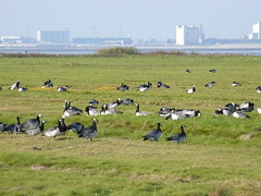 birds around Dollard Bay (achatphoenix) Tags: dollart dollard dollartbay dollartbusen birds geese barnaclegeese ems riverems zugvgel migratingbirds water wasser waddensea wattenmeer watt waterscape eastfrisia eau ebbe lowersaxony lowtide ostfriesland aqua priel autumn
